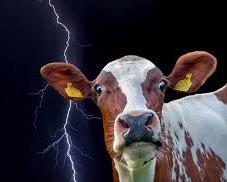 Vaca en treboada