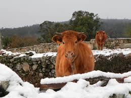 Vacas na neve