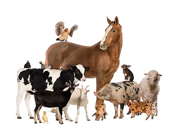 Animais de granxa